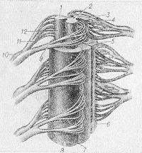 Рис. 1. Схематическое изображение строения спинного мозга (мозговые оболочки и белое вещество верхнего сегмента удалены): 1 — задний рог; 2 — центральный канал; 3 — передний рог; 4 — передний столб; 5 — передняя срединная щель; 6 — передний канатик; 7 — передняя латеральная борозда; 8 — боковой канатик; 9 — передний корешок; 10 — межпозвоночный узел; 11 — задний корешок; 12 — задний столб.