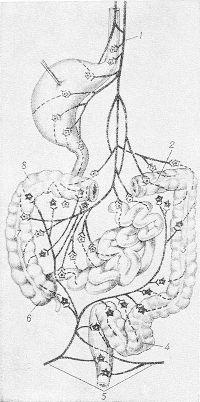 Рис. 8. Схема парасимпатической иннервации желудочно-кишечного тракта (звездочками обозначены нервные клетки, на которых происходит синаптическое переключение): 1 — блуждающий нерв; 2 — поперечная ободочная кишка; 3—нисходящая ободочная кишка; 4 — сигмовидная ободочная кишка; 5 — внутренностные тазовые нервы; 6 — слепая кишка; 7 — восходящая ободочная кишка; 8 — правый изгиб ободочной кишки.