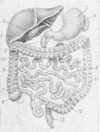 Рис. 2. Схематическое изображение положения органов брюшной полости: 1 — печень; 2 — желчный пузырь; 3 — желудок; 4 — селезенка; 5 — двенадцатиперстная кишка; 6 — тощая кишка; 7 —подвздошная кишка; 8 — слепая кишка с червеобразным отростком; 9 — восходящая ободочная кишка; 10 — поперечная ободочная кишка; 11 — нисходящая ободочная кишка; 12 — сигмовидная кишка; 13 — прямая кишка.