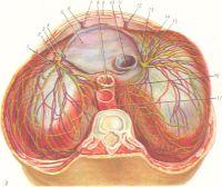 Рис. 2. Диафрагма (сверху): 1 — аорта; 2 и 15— правая и левая перикардодиафрагмальные артерии; 3 и 13 — правый и левый диафрагмальные нервы; 4 и 14 — правая и левая перикардодиафрагмальные вены; 5 — диафрагмальная часть перикарда; 6 и 12 — правая и левая мышечно - диафрагмальные вены; 7 и 11 — правая и левая мышечнодиафрагмальная артерии; 8 — пищевод; 9 - грудина; 10 — нижняя полая вена; 16 — пищеводное сплетение; 17 — грудной проток.