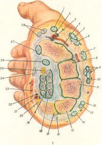 Рис. 1. Поперечный разрез правой кисти через запястье: 1 — сухожилие короткого разгибателя большого пальца; 2 — лучевая артерия; 3 — лучевая вена; 4 — ладьевидная кость; 5 — сухожилие длинного разгибателя большого пальца; 6 — сухожилие длинного лучевого разгибателя запястья; 7 — сухожилие короткого лучевого разгибателя запястья; 8 — головчатая кость; 9 — сухожилия разгибателя пальцев; 10 — сухожилие разгибателя указательного пальца; 11 — крючковатая кость; 12 — сухожилие разгибателя пальцев (к мизинцу); 13 — сухожилие разгибателя мизинца; 14 — сухожилие локтевого разгибателя запястья; 15 — трехгранная кость; 16 — сухожилие локтевого сгибателя запястья; 17 — гороховидная кость; 18 — сухожилия глубокого сгибателя пальцев; 19 — сухожилия поверхностного сгибателя пальцев; 20 — локтевой нерв; 21 — локтевая артерия; 22 — локтевая вена; 23 — короткая ладонная мышца; 24 — сухожилие длинной ладонной мышцы; 25 — срединный нерв; 26 — сухожилие длинного сгибателя большого пальца; 27 — сухожилие лучевого сгибателя запястья; 28 — сухожилия мышцы, приводящей большой палец.