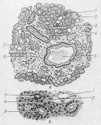 Рис. 5. Схематическое изображение гистологического строения околоушной железы. А — при увеличении в 200 раз: 1 — вставочный проток; 2 — исчерченный проток; 3 — концевой секреторный отдел; 4 —жировая клетка; 5 — междольковый проток; 6 — междольковая перегородка; 7 — кровеносный сосуд; окраска гематоксилин-эозином; Б — при увеличении в 600 раз: 1 — жировая клетка; 2 — сероциты концевого секреторного отдела; 3 — исчерченный проток; 4 — миоэпителиоциты; 5 — вставочный проток; окраска гематоксилин-эозином.