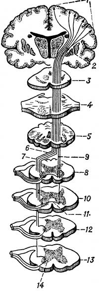 Рис. 1. Схематическое изображение корково-спинномозгового (пирамидного) пути на различных уровнях головного и спинного мозга: 1 — пирамидальные нейроциты коры головного мозга, 2 — внутренняя капсула, 3 — средний мозг, 4 — мост, 5 — продолговатый мозг, 6 — перекрест пирамид, 7—латеральный корково-спинномозговой (пирамидный) путь, 8, 10—шейные сегменты спинного мозга, 9 — передний корково-спинномозговой (пирамидный) путь, 11 — белая спайка, 12 — грудной сегмент спинного мозга, 13 — поясничный сегмент спинного мозга, 14 — двигательные нейроны передних рогов спинного мозга.
