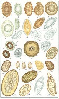 Рис. 1. Яйца некоторых глист. 1—13 — яйца нематод. Ascaris lumbricoides: 1 — оплодотворенное, с белковой оболочкой; 2 — оплодотворенное, без белковой оболочки; 3 и 4 — неоплодотворенное, с белковой оболочкой; 5 — Toxocara mystax; 6 — Toxascaris leonina; 7 — Enterobius vermicularis, свежевыделенное и с развившейся личинкой; 9— Hepaticola hepatica; 10 — Trichocephalus trichiurus; 11 —Thominx aerophilus; 12 — Ancylostomatidae spec.; 13 — Trichostrongylidae spec; 14 — 19 — яйца цестод: 14 и 15 — Taeniidae spec., яйцо и онкосфера; 16 — Hymenolepis nana; 17 — Hymenolepis diminuta; 18— Dipylidium caninum, яйцо; 19 — Diphyllobothrium latum; 20 — 30 — яйца трематод: 20 — Nanophyetus schikhobalowi; 21 — Opisthorchis felineus; 22 — Clonorchis sinensis; 23 — Metagonimus yokogawai; 24 к 25 — Dicrocelium lanceatum, незрелое и зрелое; 26 — Fasciola hepatica; 27 — Paragonimus westermani; 28— Schistosoma japonicum; 29 — Schistosoma haematobium; 30— Schistosoma mansoni.