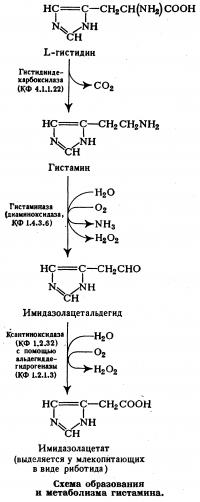 Схема образования и метаболизма гистамина