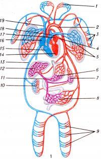 Рис. 1. Схематическое изображение кровообращения человека: 1 — капиллярные сети области головы и шеи; 2 — аорта; 3 — капиллярная сеть верхней конечности; 4 — легочная вена; 5 — капиллярная сеть легкого; 6 — капиллярная сеть желудка; 7 — капиллярная сеть селезенки; 8 — капиллярная сеть кишечника; 9 — капиллярная сеть нижней конечности; 10 — капиллярная сеть почки; 11 —воротная вена; 12 — капиллярная сеть печени; 13 — нижняя полая вена; 14 — левый желудочек сердца; 15 — правый желудочек сердца; 16 — правое предсердие; 17 — левое предсердие; 18 — легочная артерия; 19 — верхняя полая вена.