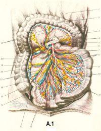 Рис. A.1. Сосуды и нервы тонкой кишки и правого отдела толстой кишки: 1 — большой сальник; 2 — поперечная ободочная кишка и ее гаустры; 3 — средняя ободочная артерия; 4 — левые ободочные лимфатические узлы; 5 — поджелудочная железа; 6 — верхний брыжеечный узел; 7 — верхняя брыжеечная артерия и верхнее брыжеечное сплетение; 8 — кишечные артерии и вены; 9 — тонкая кишка; 10 — промежуточные лимфатические узлы; 11 — верхние брыжеечные лимфатические узлы; 12 —- подвздошные лимфатические узлы; 13 червеобразный отросток; 14 — брыжейка червеобразного отростка; 15 — слепая кишка; 16 — подвздошно-ободочная артерия; 17 — подвздошно-ободочные лимфатические узлы; 18 - правая ободочная артерия; 19 — верхняя брыжеечная вена; 20 — восходящая ободочная кишка; 21 — средние ободочные лимфатические узлы.