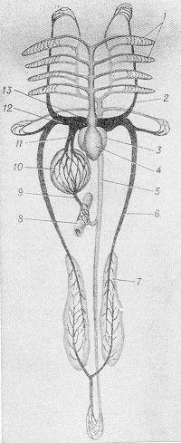 Рис. 2. Схема кровеносной системы костистой рыбы: 1 - сеть капилляров в жабрах; 2— передняя кардинальная вена; 3— предсердие; 4— желудочек сердца; 5— аорта; 6— задняя кардинальная вена; 7— почка; 8— кишка; 9— воротная вена; 10—печень; 11—печеночные вены; 12— общая кардинальная вена (кювьеров проток); 13— венозный синус.
