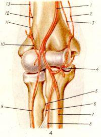 Рис. 4. Артерии области локтевого сустава (передняя поверхность): 1 — плечевая артерия; 2— верхняя локтевая коллатеральная артерия; 3— нижняя локтевая коллатеральная артерия; 4 —локтевая возвратная артерия и ее передняя и задняя ветви; 5— возвратная межкостная артерия; 6 — задняя межкостная артерия; 7 — локтевая артерия; 8 — передняя межкостная артерия; 9 — лучевая артерия; 10 — лучевая возвратная артерия; 11 — лучевая коллатеральная артерия; 12 — средняя коллатеральная артерия; 13 — глубокая артерия плеча.