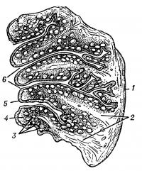 Рис. 4. Схема строения небной миндалины: 1 — капсула; 2 — перекладины миндалины; 3 — лимфатические фолликулы миндалины; 4 — паренхима миндалины; 5 — многорядный плоский эпителий зевной поверхности миндалины, продолжающийся в крипты; 6 — выходные отверстия миндаликовых крипт.