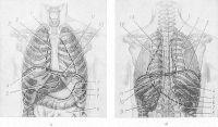 Рис. 3. Схематическое изображение проекции органов грудной и брюшной полостей на грудную клетку. Вид спереди (а): 1 — проекция верхушки правого легкого; 2 — проекция передней границы правой плевры; 3 — правый контур проекции сердца; 4 — верхний контур проекции печени; 5 — проекция желудка; 6 — тонкая кишка; 7 — проекция селезенки; 8 — проекция поперечной ободочной кишки; 9 — проекция левого (селезеночного) изгиба ободочной кишки; 10 — контур проекции диафрагмы; 11 — проекция левого легкого. Вид сзади (б): I — проекция верхушки правого легкого; 2 — проекция правого легкого; 3 — проекция диафрагмы; 4 — нижняя проекция правого легкого; 5 — нижняя проекция плевры; 6 — проекция правой почки; 7 — нижняя проекция печени; 8 — проекция восходящей ободочной кишки; 9 — проекция левой почки; 10 — проекция селезенки; 11 — нижняя проекция сердца; 12 — левая проекция сердца; 13 — медиальная проекция левого легкого.