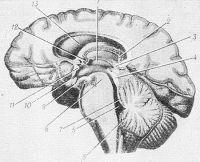 Рис. 4. Сагиттальный срез мозгового ствола и косой срез полушария головного мозга через центральную часть и передний рог правого бокового желудочка, третий и четвертый желудочки: 1 — третий желудочек; 2 — свод; 3 — сосудистая основа третьего желудочка; 4 — крыша среднего мозга; 5 — нижний мозговой парус; 6 — четвертый желудочек; 7 — верхний мозговой парус; 8 — ножка мозга; 9 — углубление воронки; 10 — зрительное углубление; 11— передняя спайка; 12 — сосудистое сплетение бокового желудочка; 13 — боковой желудочек.