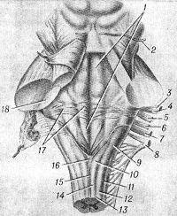 Рис. 2. Схематическое изображение задней поверхности мозгового ствола