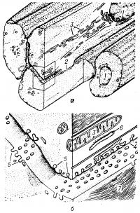 Рис. 2. Объемная схема ультраструктуры участка гладкой мышечной ткани позвоночных: а — мышечные клетки; б — небольшой участок клеток, изображенных на схеме а (1 — ядра; 2 — зона тесного контакта клеток; 3 — митохондрии; 4 — плазмолемма; 5 — впячивание плазмолеммы; 6 — эндоплазматическая сеть; 7 — протофибриллы).