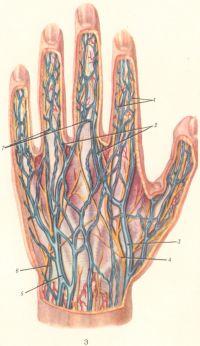 Рис. 3. Поверхностные вены и нервы тыльной поверхности левой кисти: 1 — тыльные пальцевые нервы; 2 — межголовчатые вены; 3 — латеральная подкожная вена руки; 4 — поверхностная ветвь лучевого нерва; 5 — медиальная подкожная вена руки; 6 — тыльная ветвь локтевого нерва; 7 — венозные дуги пальцев.