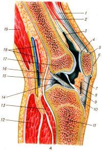 Рис. 4. Коленный сустав (левый; сагиттальный распил): 1 — сухожилие четырехглавой мышцы бедра; 2 — суставная мышца колена; 3 — наднадколенниковая сумка; 4 — суставная поверхность надколенника; 5 — надколенник; 6 — подкожная преднадколенниковая сумка; 7 — крыловидные складки; 8 — поднадколенниковая синовиальная складка; 9 — глубокая поднадколенниковая сумка; 10 — связка надколенника; 11 — большеберцовая кость; 12 — икроножная мышца (латеральная головка); 13 — подколенная мышца; 14 — задняя крестообразная связка; 15 — передняя крестообразная связка; 16 — суставная капсула; 17 — латеральный мыщелок бедра; 18 — подколенные сосуды; 19 —двуглавая мышца бедра.