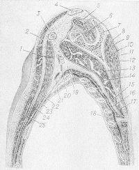 Рис. 2. Схема сагиттального распила груди через середину лопатки: 1 — ключичногрудная фасция; 2 и 9 — поверхностный листок грудной фасции; 3 — клювовидный отросток лопатки; 4 — ключица; 5 — надостная фасция; 6 — надостная мышца; 7 — лопатка; 8 — подостная фасция; 10— подостная фасция; 11 — подкожная клетчатка; 12 — подостная мышца; 13 — тело лопатки; 14 — подлопаточная мышца; 15 — задняя подлопаточная щель; 16— передняя зубчатая мышца и покрывающая ее фасция; 17 — подлопаточная фасция; 18 — наружные межреберные мышцы и покрывающая их фасция; 19 — подмышечная ямка; 20 — подмышечная вена; 21 — подмышечная артерия; 22 — субпекторальное клетчаточное пространство передней поверхности груди; 23—глубокое клетчаточное пространство передней поверхности груди; 24 — малая грудная мышца; 25— большая грудная мышца (по Маргорину).