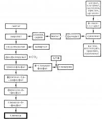 Рис. 1. Схема глюконеогенеза.