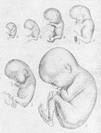Рис. 1. Внешний вид зародыша и плода человека на различных этапах внутриутробного развития (уменьшено): а — зародыш восьми недель, б — плод девяти недель, в — плод десяти недель, г — плод одиннадцати недель, д — плод двенадцати недель, e — плод шестнадцати недель.