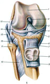 Рис. 5. Коленный сустав (правый) спереди (суставная капсула удалена, сухожилие четырехглавой мышцы бедра с надколенником оттянуты книзу): 1 — надколенниковая поверхность бедренной кости; 2 — задняя крестообразная связка; 3 — передняя крестообразная связка; 4 — медиальный мениск; 5 — поперечная связка колена; 6 — большеберцовая коллатеральная связка; 7 — связка надколенника; 8 — суставная поверхность надколенника; 9 — сухожилие четырехглавой мышцы бедра; 10 — межкостная перепонка голени; 11 —головка малоберцовой кости; 12 — передняя связка головки малоберцовой кости; 13 — сухожилие двуглавой мышцы бедра; 14 — латеральный мениск; 15 —малоберцовая коллатеральная связка.