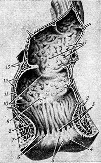 Анатомия человека: Прямая кишка. Топография прямой кишки. Стенки, отношение к брюшине прямой кишки., прямая кишка