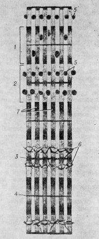 Рис. 4. Классическая схема строения мышечного волокна по Гейденгайну: 1 — диск А; 2 — диск I; 3 — перегородка T (телофрагма); 4 — перегородка М (мезофрагма); 5 — саркосомы; 6 — поперечная сеть; 7 — миофибриллы.