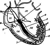 Рис. 5. Схематическое изображение центров автоматизма и проводящей системы сердца: 1— предсердно-желудочковый узел; 2 — дополнительные пути быстрого предсердно-жслудочкового проведения (пучки Кента); 3 — пучок Гиса; 4 — мелкие разветвления и анастомозы левых ветвей пучка Гиса; 5 — левая задняя ветвь пучка Гиса; 6 — левая передняя ветвь пучка Гиса; 7 — правая ветвь пучка Гиса; 8 — дополнительный проводниковый пучок Джеймса; 9 — межузловые пути быстрого проведения; 10 — синусно-предсердный узел: 11 — межпредсердный путь быстрого проведения (пучок Бахмана). ЛП — левое предсердие, ПП — правое предсердие, ЛЖ — левый желудочек, ПЖ — правый желудочек.
