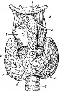 Рис. 1. Схематическое изображение расположения щитовидной железы по отношению к гортани, трахее и подъязычной кости (вид спереди): 1 — подъязычная кость; 2 — щитоподъязычная мембрана; 3 — пирамидальная доля щитовидной железы (непостоянная); 4, 7 — левая и правая доли щитовидной железы; 5 — трахея; 6 — перешеек щитовидной железы; 8 — перстневидный хрящ; 9 — щитовидный хрящ.