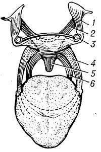 Рис. 2. Схематическое изображение мышц мягкого неба: 1 — мышца, напрягающдая небную занавеску, 2 — мышца, поднимающая небную занавеску, 3 — крючок крыловидного отростка, 4 — небно-язычная мышца, 5 — мышца язычка, 6 — небно-глоточная мышца.