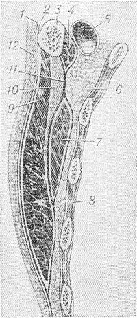 Рис. 1. Схема слоев грудной стенки на уровне молочной железы: 1 — грудная фасция; 2 — поверхностный листок грудной фасции; 3 — ключица; 4 — подключичная мышца; 5 — подключичная вена; 6 — слой клетчатки позади малой грудной мышцы (глубокое клетчаточное пространство); 7 — малая грудная мышца; 8— межреберные мышцы; 9 — большая грудная мышца; 10 — слои клетчатки позади большой грудной мышцы (субпекторальное клетчаточное пространство); 11 — ключично-грудная фасция; 12 — подкожная клетчатка (по Маргорину).