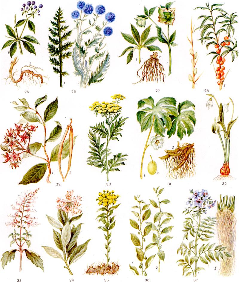 лекарственные растения от паразитов в организме