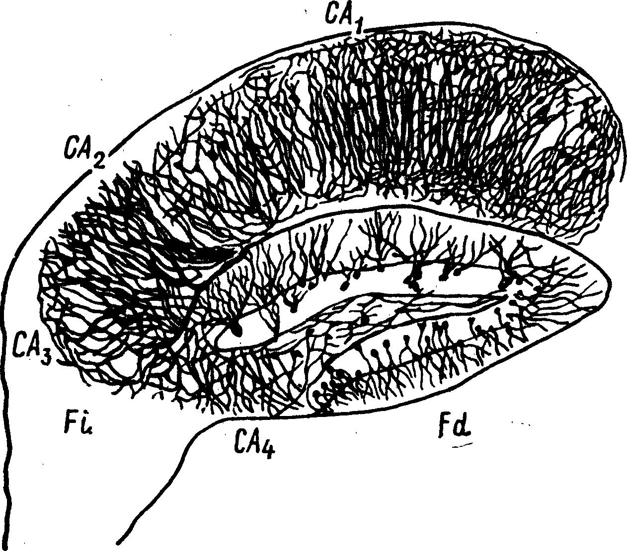 Извилина Гиппокампа фото
