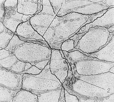 нервных волокон в